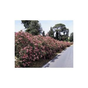 Laurier rose (NERIUM OLEANDER VARIE) Le pot de 10 litres (1/4 tige) 859195