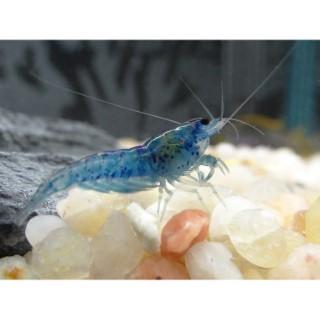Crevette bleue d'eau douce 862006