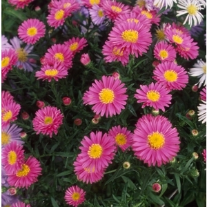Aster Dumosus. La barquette de 6 plants 862660