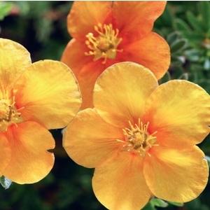 Potentilla Fruticosa Variée Orange – Pot de 3L 863450