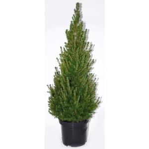 Picea Glauca Conica (épinette blanche) en pot de 2 L vert 863912