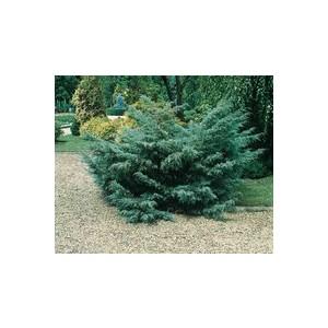 Juniperus Media Pfitzeriana Glauca ou Genévrier 60/80 cm en pot de 5 L 866971