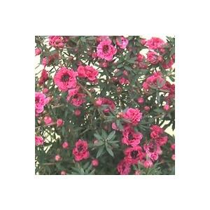 Leptospermum Scoparium ou Arbre à thé rose en pot de 5 L 940365