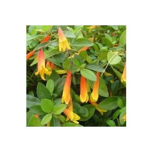 Libonia Floribunda. La coupe 214288