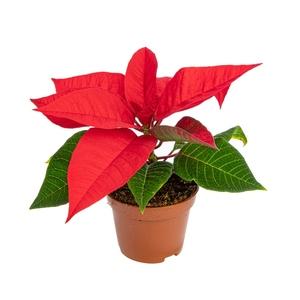Poinsettia rouge en pot Ø 6 cm 871389