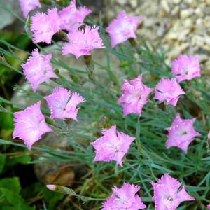 Dianthus Gratianopolitanus. Le pot de 2 litres 873357