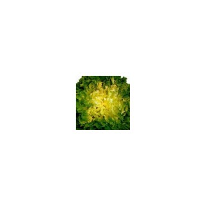 Chicorée Scarole Séance. La barquette de 12 plants 41485