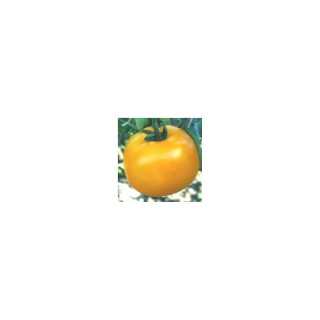 Tomate ronde Golden Boy. Le pot compostable de 10,5 cm 41510
