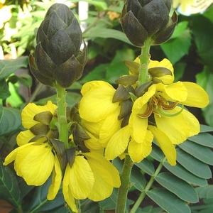 Cassia Floribunda jaune ½ tige en pot de 3 L 948900