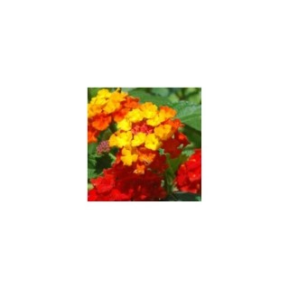 Lantana Cascade Orange. Le pot de 9x9 cm 442956