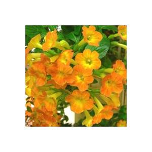 Streptosolen jamesonii orange en pot de 9 x 9 cm 453232