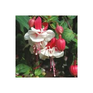 Fuchsia Retombant. Le pot de 1 litre 874917