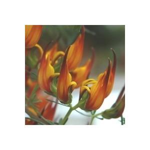 Lotus. La suspension diam 23 cm 176797