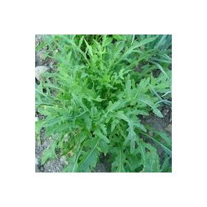 Roquette Sauvage Grazia. La barquette de 12 plants 41478