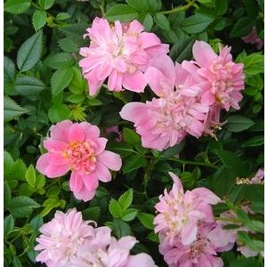 Mini rosier Rozenn mini. La barquette de 6 plants 878846