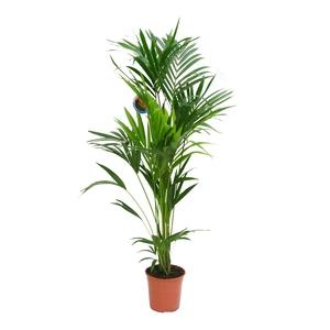 Kentia Forsteriana pot Ø27 cm/ H180 cm 880040