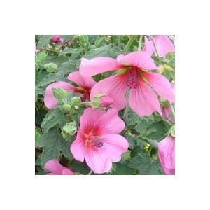 Anisodontea Capensis rose en pot de 3 L 854860