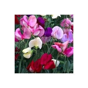 Pois de senteur tippi multicolore en pot de 1 L Ø 13-15 852242
