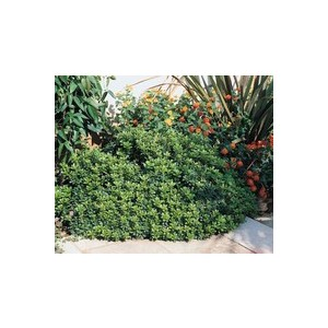 Pittosporum Tobira Nana en pot de 3 L 884290