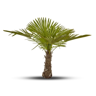 Palmier Trachycarpus Excelsa 140/160 cm Tronc 60/70 cm en pot de 50 L 884761