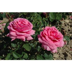 Rosier Grandes Fleurs – Pot de 5L 885832