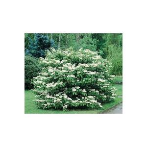 Viburnim Plicatum Maresi– Pot de 3L 887389