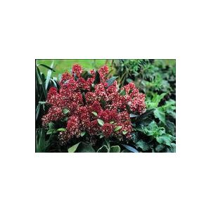 Skimmia rouge en pot de 1 L 809288