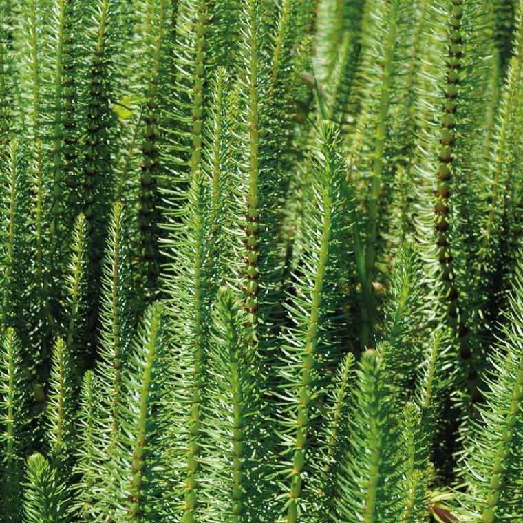 La Pesse D Eau Godet 9x9 Cm Plantes De Bassin Botanic Jardin Botanic