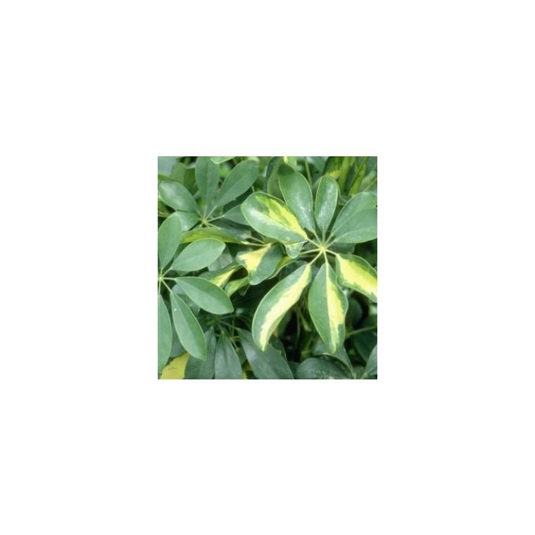 Schefflera Actinophylla Amate ou Arbre parapluie pot Ø24 cm/ H100 cm 802851