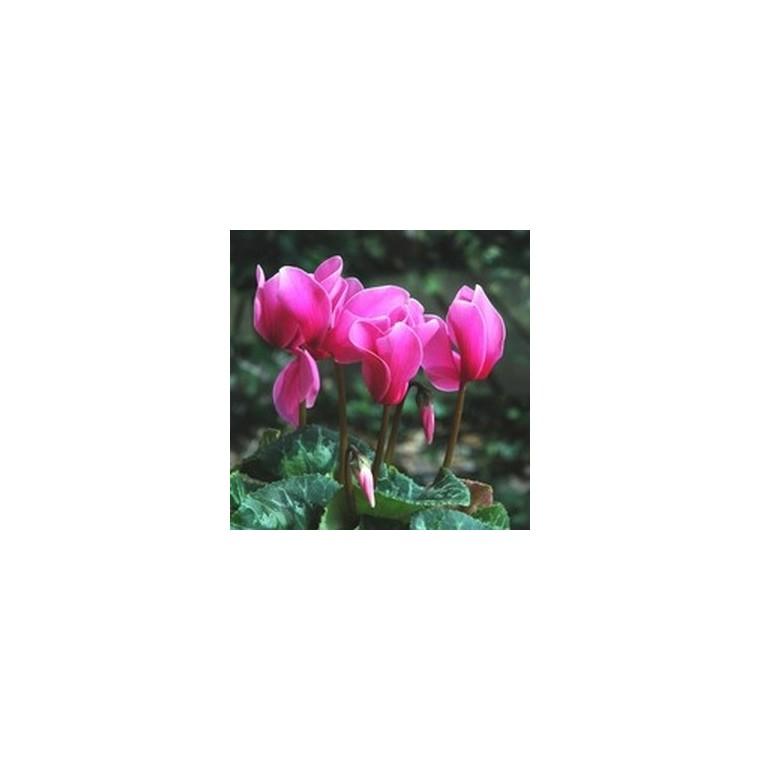 Cyclamen à grandes fleurs. Le pot diam 10.5 cm 803059