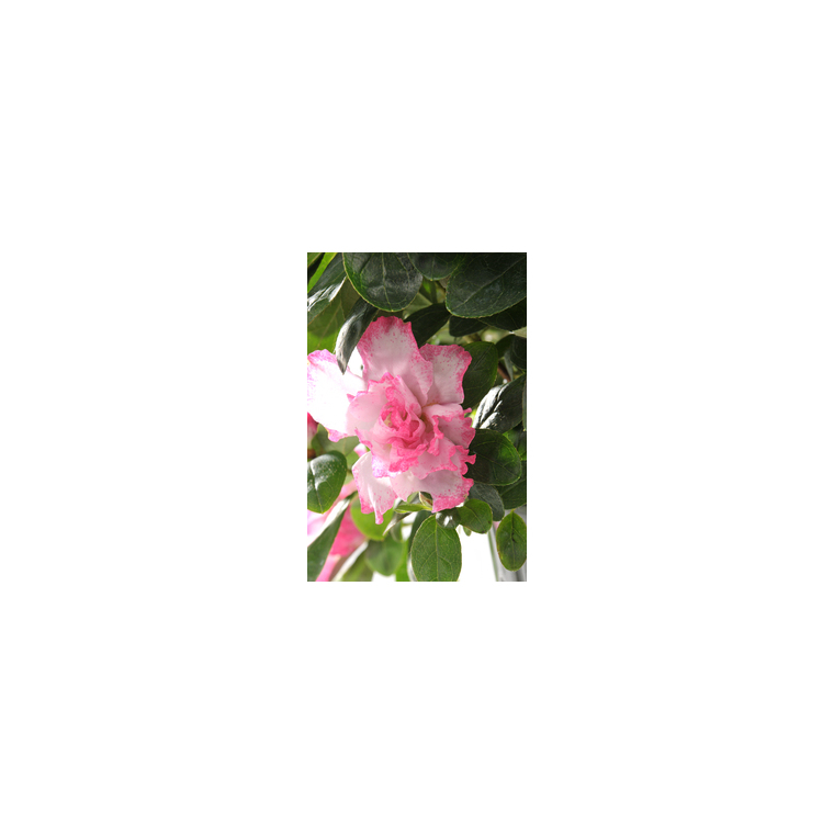 Azalée Plante Baby en pot Ø 5,5/6 cm