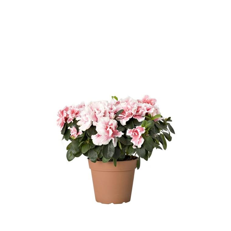 Azalée Plante Baby en pot Ø 5,5/6 cm 803354