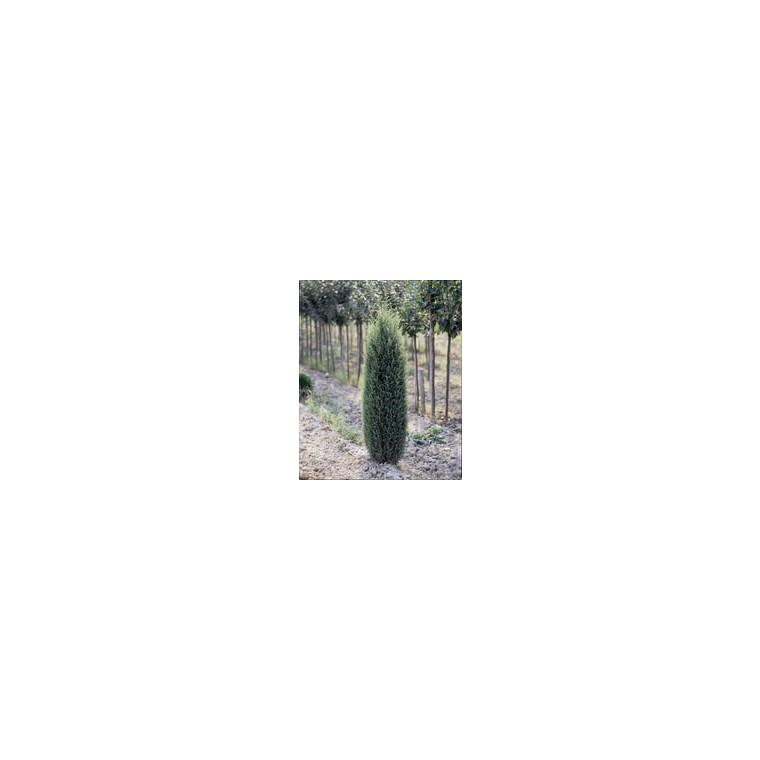 Cyprès Cupressus Sempervirens Pyramidalis 250/300 cm en pot de 35 L 912110