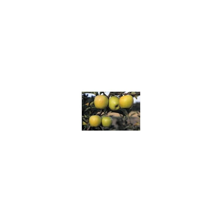 Pommier Golden Delicious 1/2 tige 6/8 en conteneur de 15 L 807887