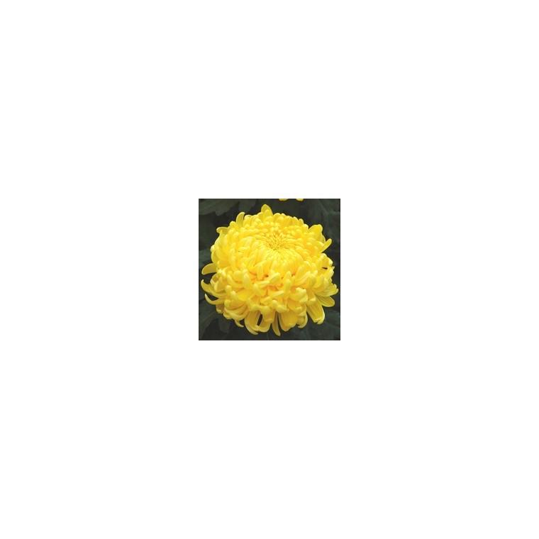 Chrysanthème grosses fleurs. Le pot de 1 litre 312890