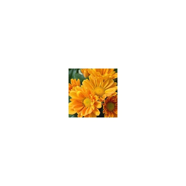 Chrysanthème multifleurs. Le pot de 2,5 litres 809067