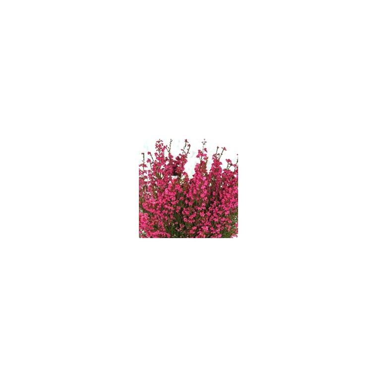 Bruyère gracilis rouge. Le pot de 1 litre