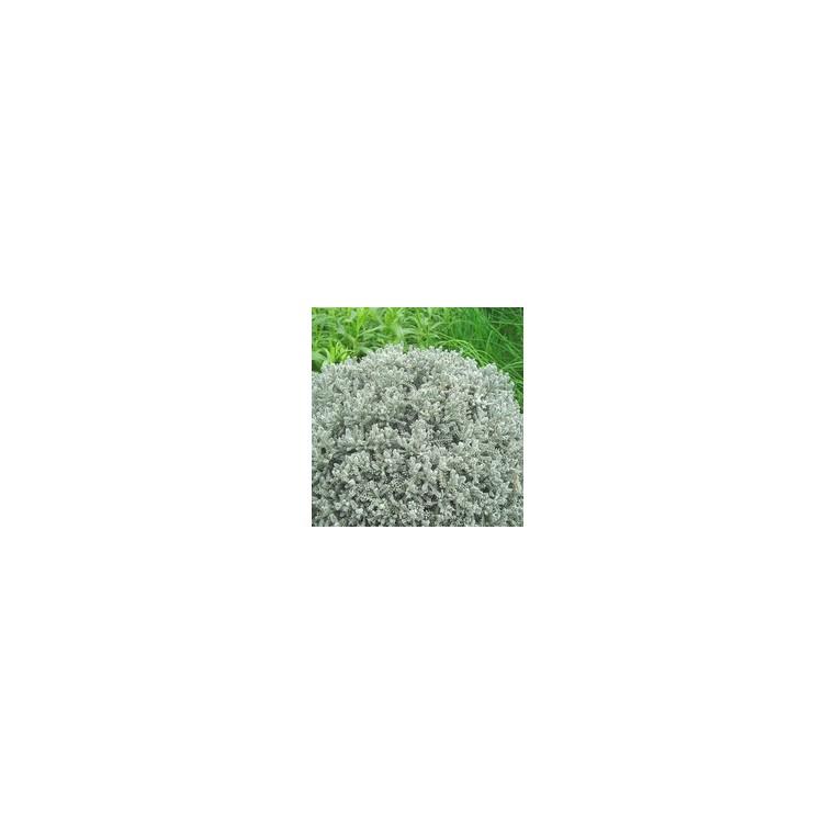 Santoline grise en pot de 2,5 L 809283