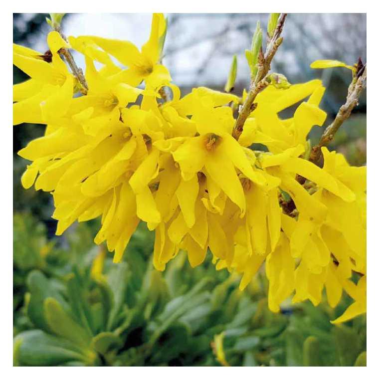 Forsythia jaune nain - Pot de 7L 809320