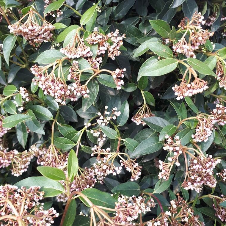 Viburnum Tinus ou Laurier-tin 30/40 cm en pot de 3 L 809648