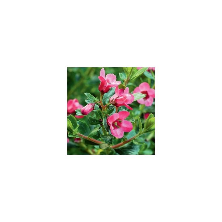 Escallonia rose 40/60 cm en pot de 5 L 810212