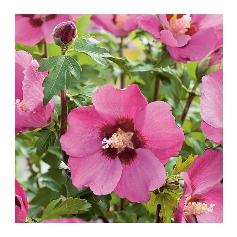 Althéa Pink Geant - pot 5 L 810250