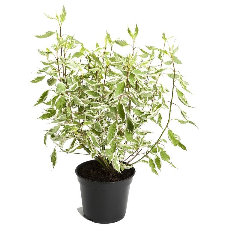 Cornus Alba Argentéomarginata – Pot de 5L 810471