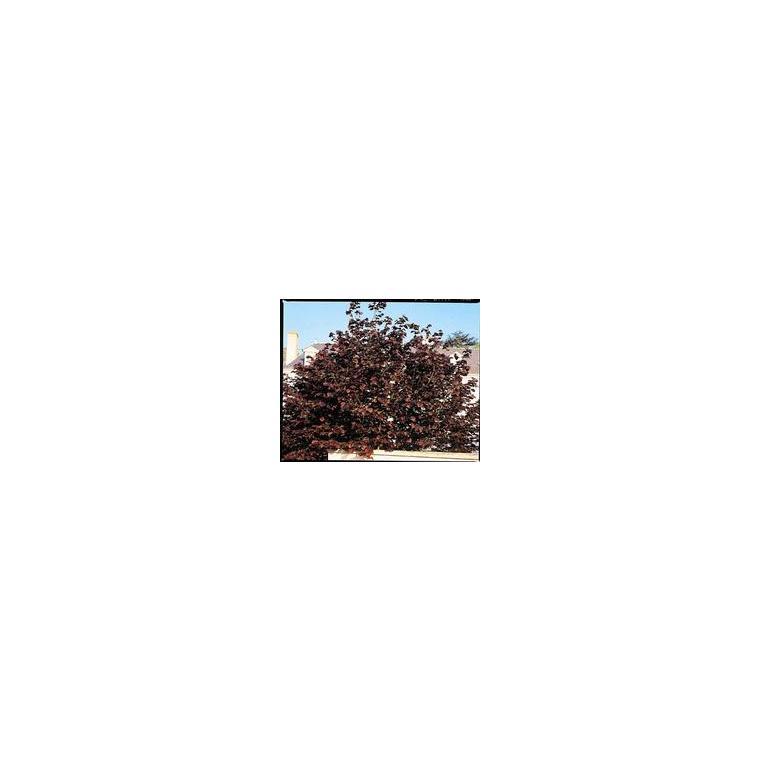 Corylus Avellana Purpurea – Pot de 5L 864440