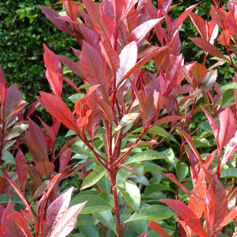 Photinia Fraseri Red Robin 100/125 cm en pot de 10 L 911787