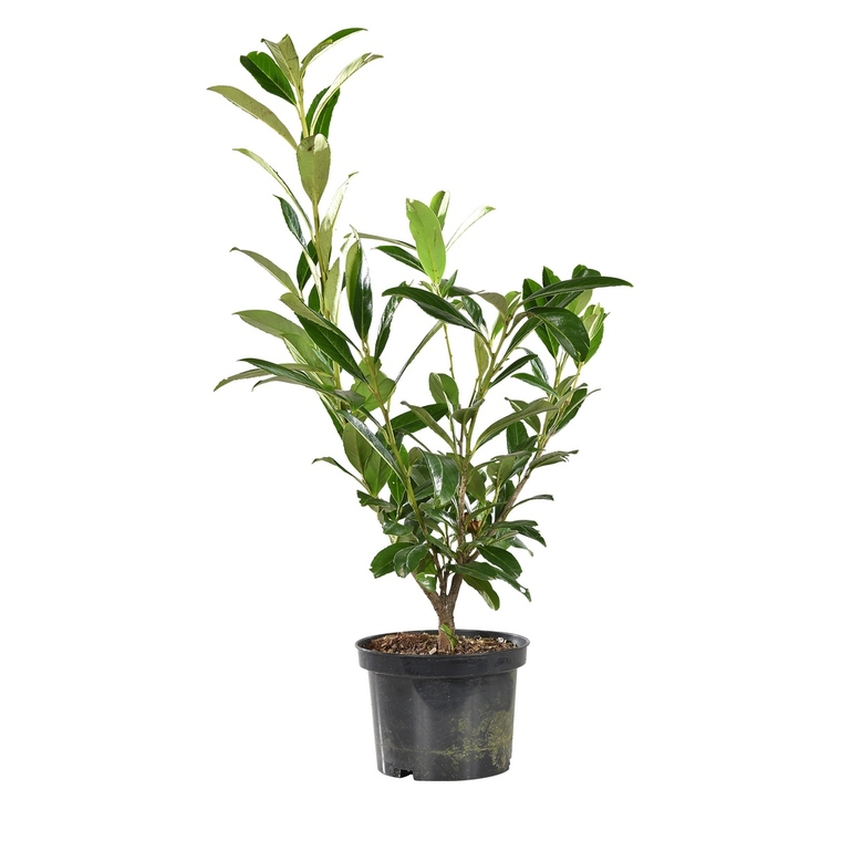 Laurier cerise - pot 3 L 810822