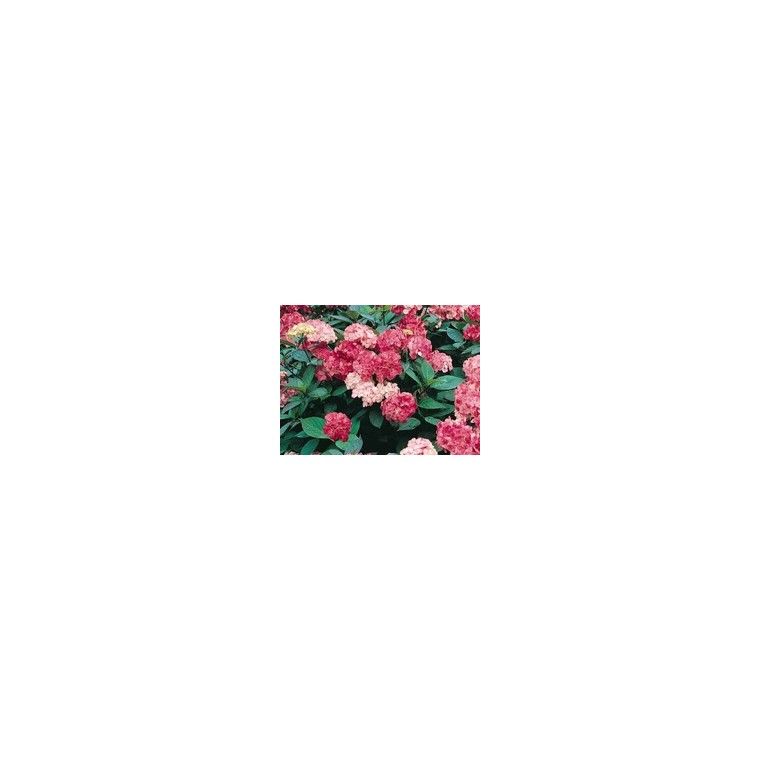 Hydrangea Serrata Precioza – Pot de 5L 812647
