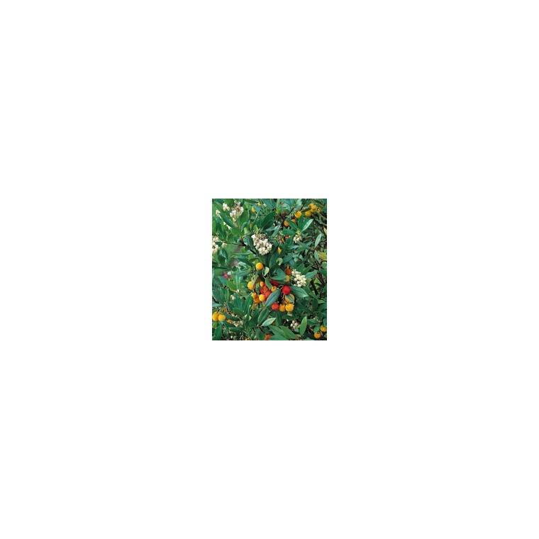Arbutus Unedo ½ tige– Pot de 25L 494247