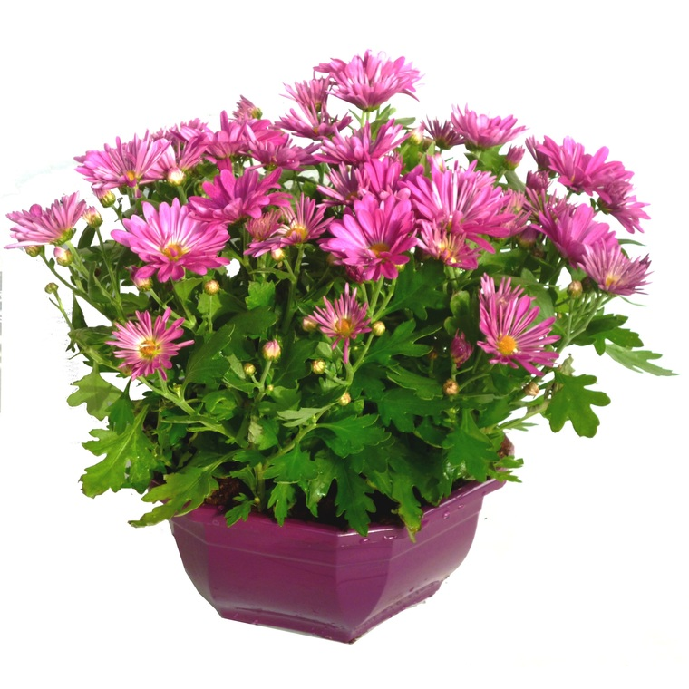 Chrysanthème multifleurs. La coupe de 30 cm 813613