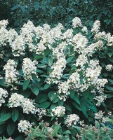 Hortensia Paniculata (Hydrangea Paniculata) blanc. Le pot de 5 litres 461923